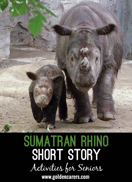 The Sumatran rhinoceros is a critically endangered species. They once lived in rainforests, swamps and cloud forests in India, Burma, Thailand, Malaysia and islands in Indonesia.