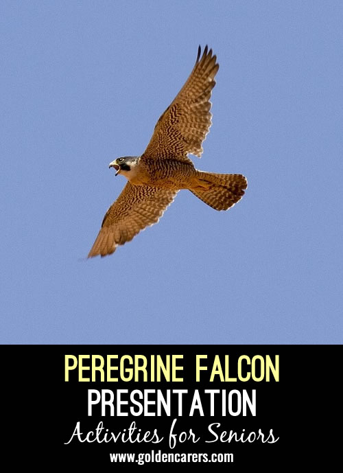 Here is an interesting presentation about Collins Street's Famous Falcon in Melbourne, Australia.
