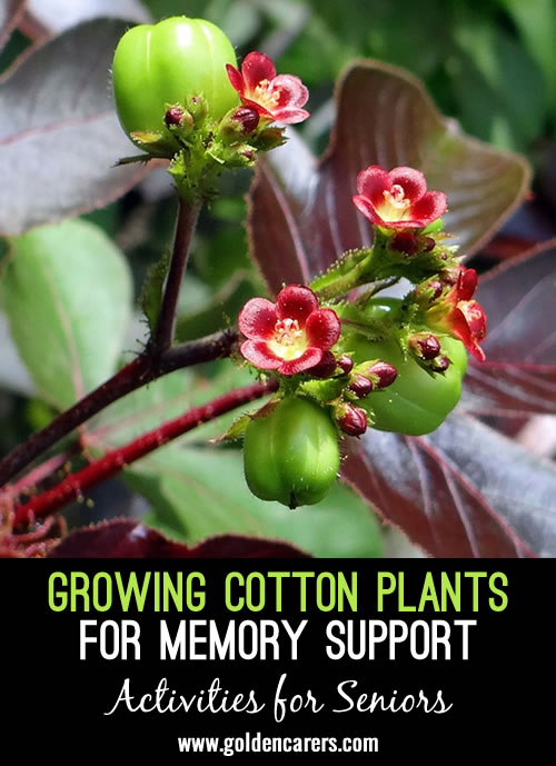 Growing Cotton Plants for Memory Support