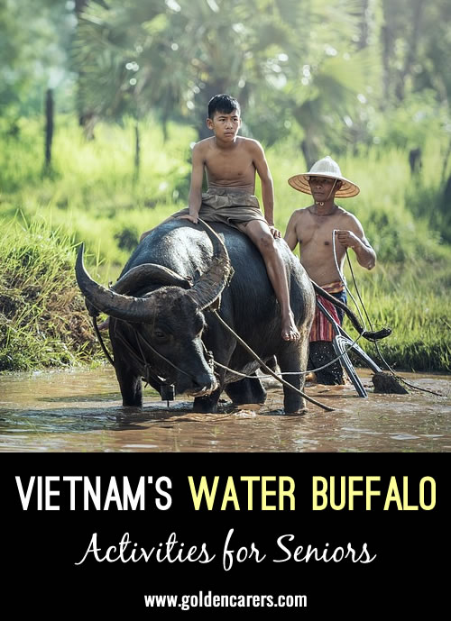 Water buffalo are gentle animals that are a wonderful asset in plowing fields and transporting people and crops. Because of this, they are highly valued and respected and are often treated as members of the family.